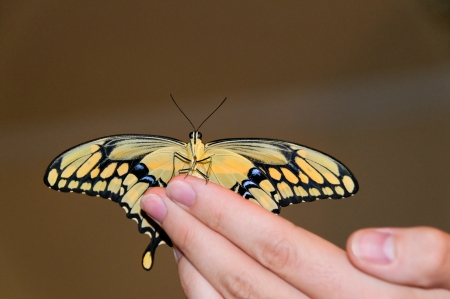 Giant swallowtail butterfly sitting on the tips of a mans fingers. photo