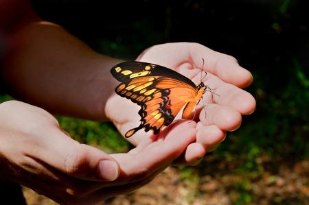 metamorfosis: Gigante amarilla mariposa cola de golondrina en las manos de un hombre. Foto de archivo