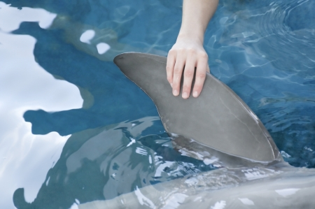 bottle nose: Womans hand holding the flipper of a bottle nose dolphin. Stock Photo