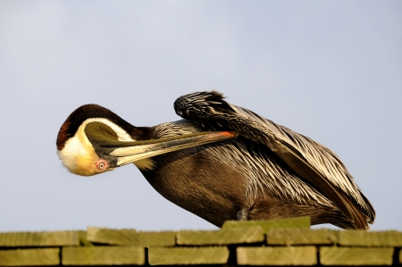 Brown pelican sea bird on the top of a roof preening its wing. Stock Photo - 15825105