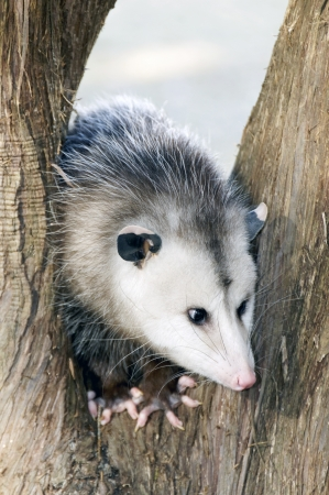 Young possum in the middle of a tree  Stock Photo