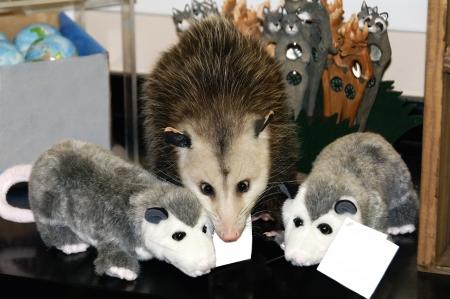 possum: Adorable pet possum in between two toy stuffed possums