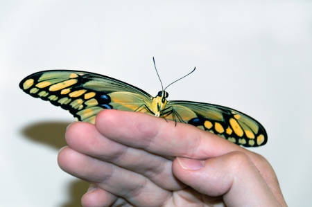 Giant swallowtail butterfly sitting on a man photo