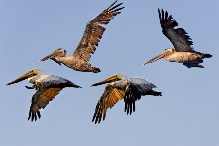 Flock of brown pelicans flying in morning light.