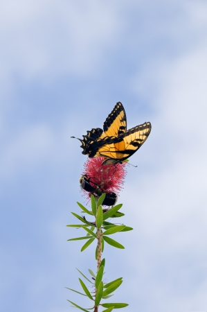 Tiger swallowtail butterfly and a bumble bee on the same red flower. photo