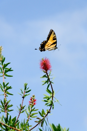 A tiger swallowtail butterfly flying above a red flower. photo