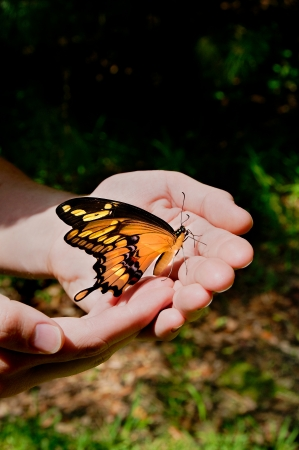 swallowtail butterfly in a mans hands outside. Stock Photo