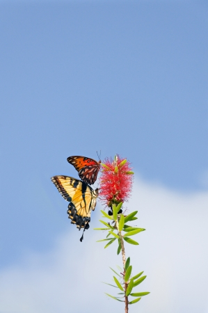 Tiger swallowtail butterfly and a gulf fritillary butterfly on the same red flower. photo