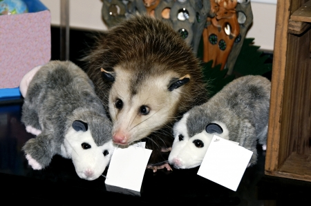 possum: Live baby possum in between two toy stuffed possums. Stock Photo