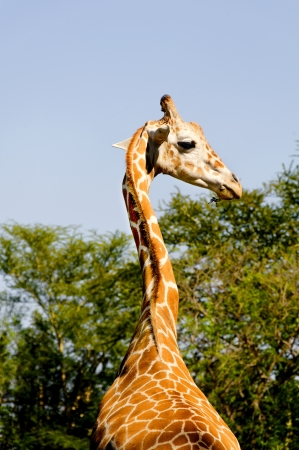 taller: Long necked giraffe standing taller than the trees.