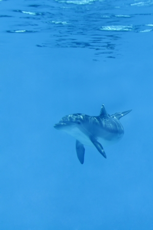 Baby dolphin swimming in blue water. photo
