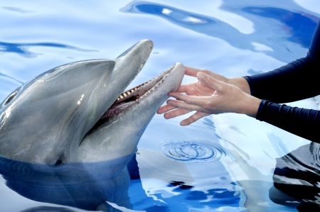 Persons hands touching a dolphins chin. Stock Photo