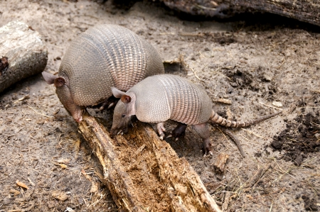 Mother armadillo and her baby rooting for bugs in a log