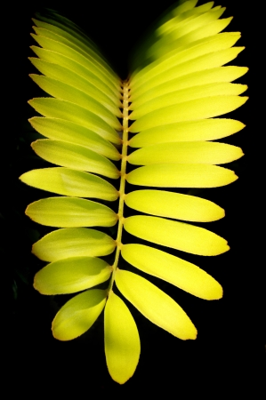 dioecious: Zamia furfuracea, or better known as the cardboard palm, in early morning light  Stock Photo