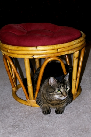 gray tabby: Gray tabby cat resting under a footstool
