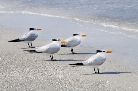 royals: Four royal terns on the beach looking out to sea
