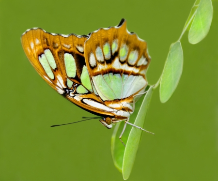dido: Philaethria dido butterfly clinging to green leaves on a green background