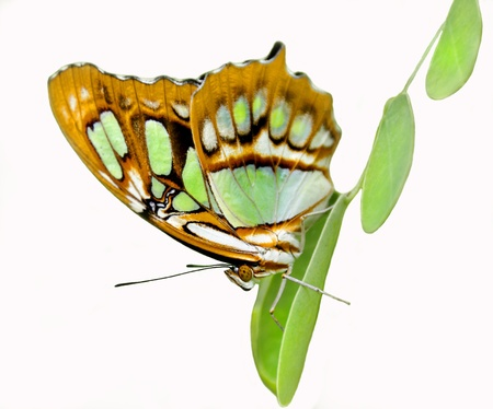 dido: Philaethria dido butterfly clinging to a leaf on a white background. Stock Photo