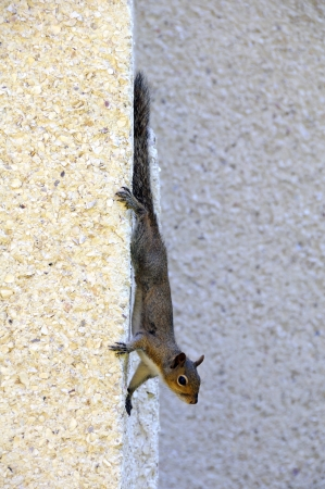 grasp: Squirrel hanging on the side of a stone wall. Stock Photo