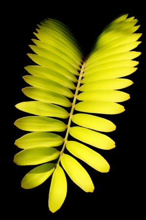 dioecious: Cardboard palm frond, scientific name zamia furfuracea, with a black background. Stock Photo
