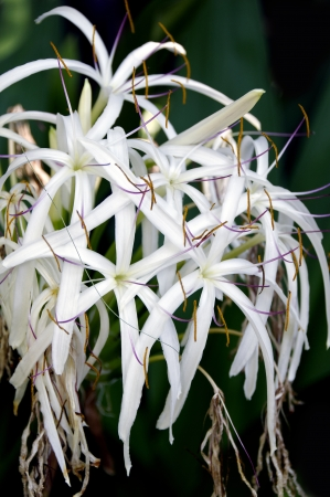 Beautiful white hymenocallis speciosa, often called the spider lily.