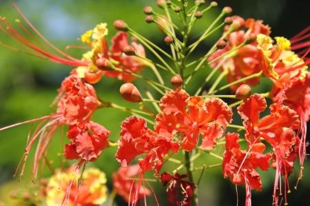 Bright orange dwarf poinciana flowers and buds  Zdjęcie Seryjne