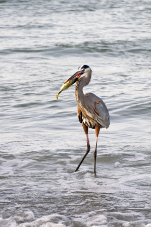 Great blue heron getting ready to swallow a fish at the ocean. Stock Photo - 17155004