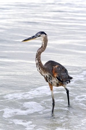 Great blue heron wading through the water at the beach. photo