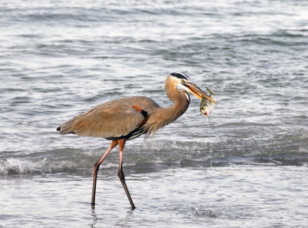 Great blue heron with a fish in its beak at the ocean in early morning light.