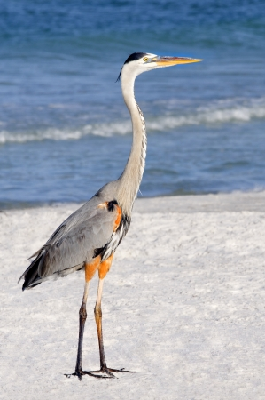 Side view of a great blue heron standing at the ocean. photo