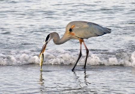 Great blue heron catching a fish in the waves at the ocean. photo