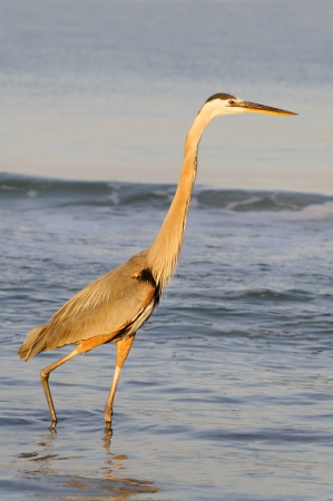 Beautiful great blue heron in early morning golden light. photo
