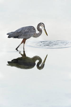 Beautiful great blue heron ocean bird looking into ripples in the water. Stock Photo - 17154882