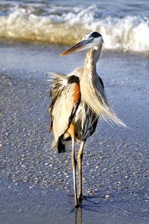 Great blue heron standing on the beach at the ocean with wind in his feathers. photo