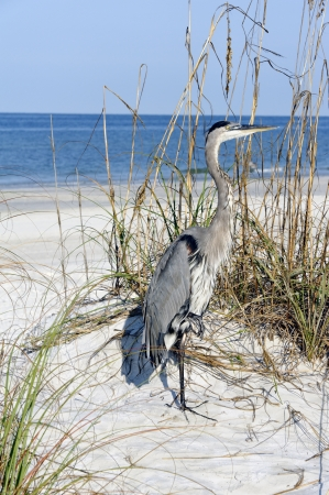Beautiful great blue heron standing on a sand dune at the ocean. Stock Photo
