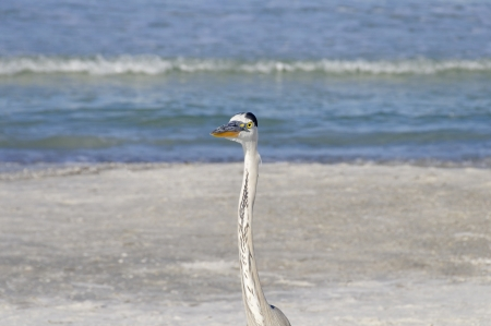 Head and neck of a great blue heron at the ocean. photo