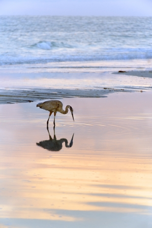 Great blue heron bird reflecting in the water at the ocean at sunset.