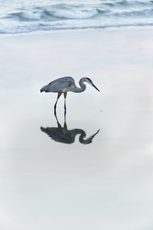 Great blue heron reflecting in the water at the ocean with waves in background. Stock Photo