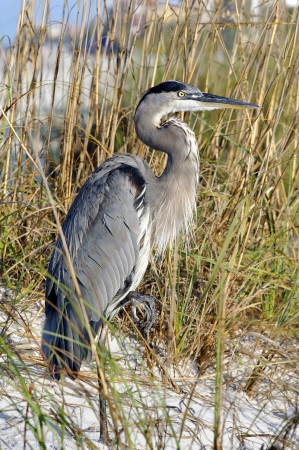Great blue heron standing in the sand at the beach with sea oats in the background.