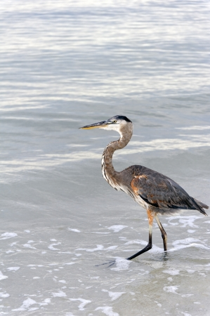 Great blue heron walking in the water at the ocean. photo