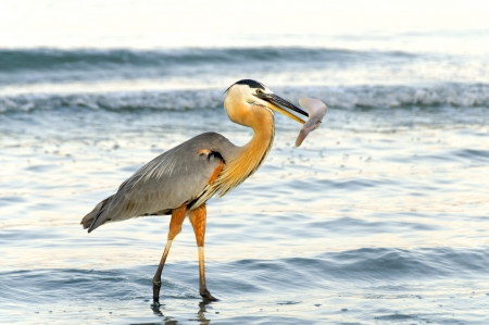 Great blue heron at the ocean with a stingray at the end of its beak.