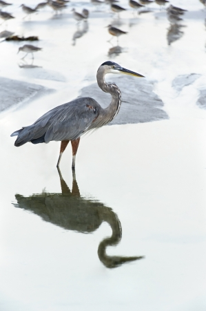 Great blue heron reflecting in the water at the ocean with sandpipers. Stock Photo - 17154884