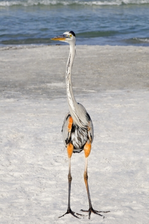 Great blue heron standing on the beach at the ocean. photo