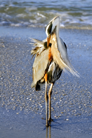 Great blue heron preening its feathers in the early morning light at the ocean. photo