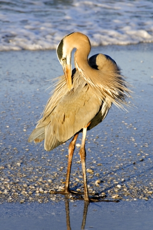 Great blue heron preening its back feathers at the ocean in morning light.
