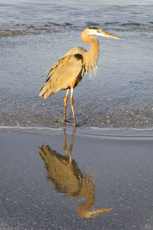 Great blue heron standing in the water at the ocean in golden light. Stock Photo