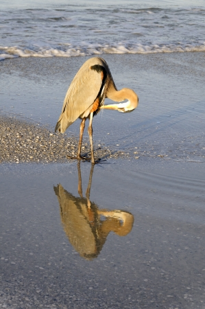 Great blue heron reflecting in the water and preening at the ocean in morning light. Stock Photo - 17155042