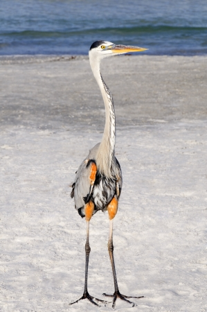 Tall great blue heron standing on the beach at the ocean. photo