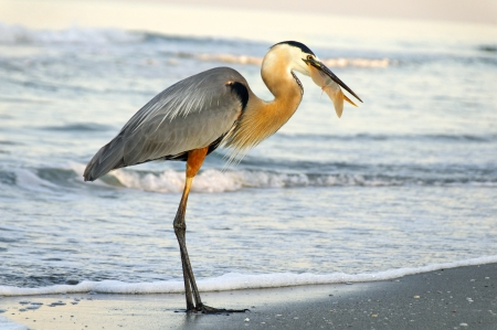 Great blue heron at the ocean eating a small stingray.