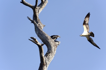 Osprey perched in a tree watching its mate fly near by. Stock Photo